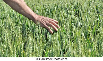 hand touching barley