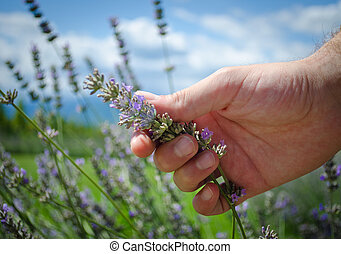 Hand touching lavender flowers - Male hand touching or...