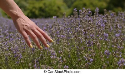 Hand touching purple flowers in lavender field - Close-up...