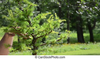 hand trim bonsai tree - hands trim bonsai tree with...