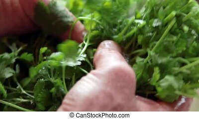 Hand washing fresh cilantro