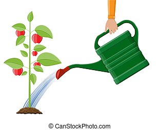Hand watering money fruit tree with can.