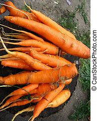 Hand with a bunch of carrots