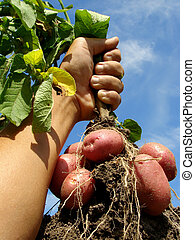 hand with potato plant - farmer hand with fresh digging ...