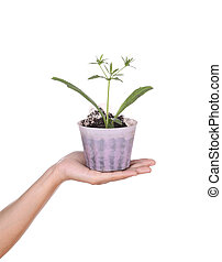 hand with young seedlings of parsley in small pot