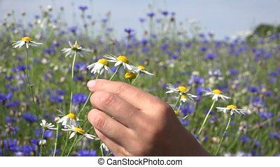 hand wonder future life with camomile petals in flower field. 4K
