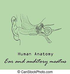 Handdrawn Human External Auditory Meatus