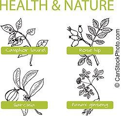 Handdrawn Set - Health and Nature. Collection of Medicine Herbs. Camphor laurel, Rose hip, Garcinia, Panax ginseng
