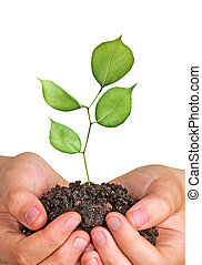 handen, sapling