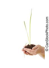 handen, twee, plant