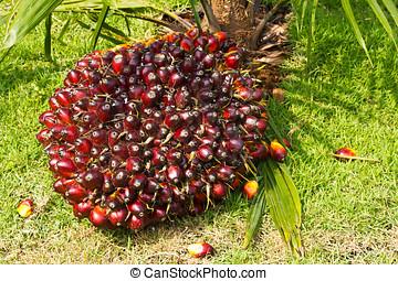 handfläche, früchte
