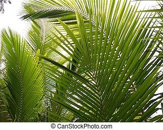 handfläche, kokosnuß- baum, laub, hintergrund