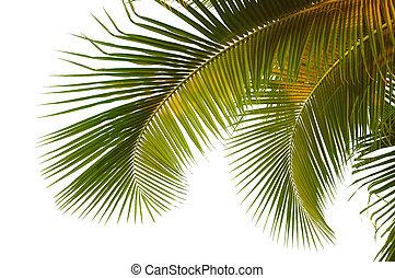 handfläche, kokosnuss, wedel