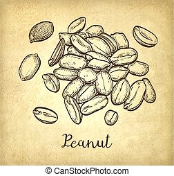 Handful of peanut. Vector illustration of nuts. Old paper...
