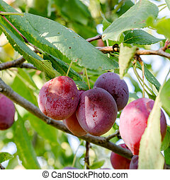 Handful of plum on a branch