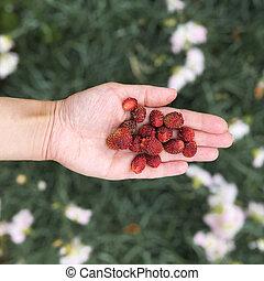 Handful of wild strawberries top view