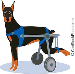 Handicapped disabled dog. Doberman