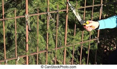hands cut hedge secateurs - Closeup of gardener hands in...