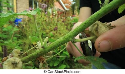 Close up,slow motion shooting of a pair of hands holding a gardenind shear, and carefully cutting the buds of a plant. Fall foliage in background.