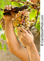 Hands Cutting Grapes