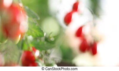 Hands full of tomatoes cherry in vegetable garden focus and defocused