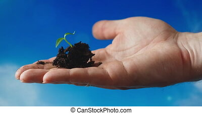 Hands holding a basil plant sapling with beautiful sunset light, concept of new growth and sustainable agriculture, environmental health, caring for mother earth