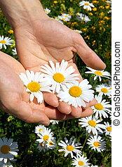 hands holding a daisy