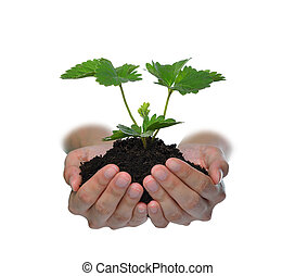 Hands holding a green young plant isolated on white Strawberry plant