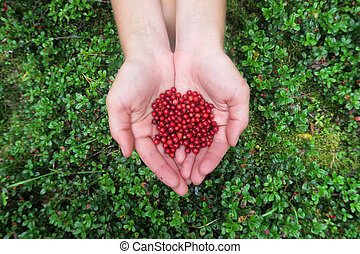 Hands holding a handful of cranberries. Picking berries