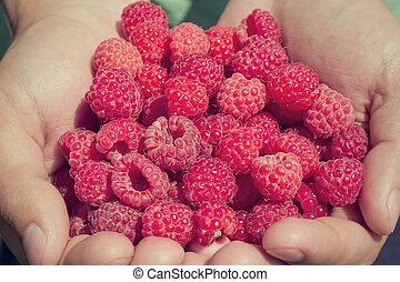 Hands holding fresh red raspberries. Hands holding a handful...