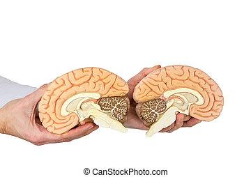 Hands holding model human brain on white background