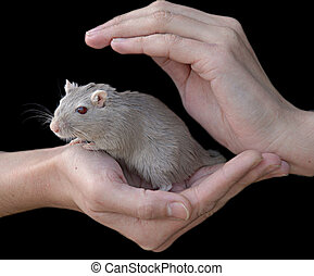 Hands holding mouse - Woman's hands, holding a mouse