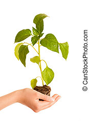 Hands holding seedling isolated over white background