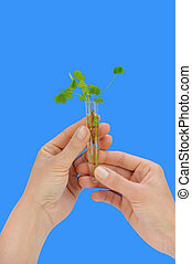 Hands holding tube with fresh  sorel (oxalis)