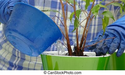 Hands in gloves water a house plant