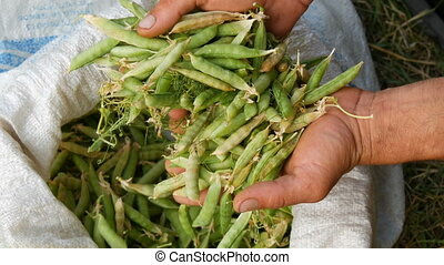 Hands of a male farmer hold many freshly harvested green pea pods in a white bag