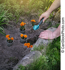hands of a man planting flowers on the ground in the garden