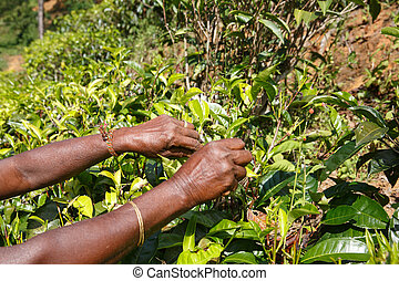 Hands of a woman tea picker picking tea on the plantation in the Sri Lanka Central Highlands. Harvesting, agricultural, local business concept.