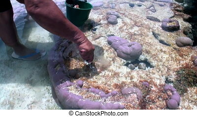 Hands of collector of seashell molyusks Tridacna in corals of French Polynesia.