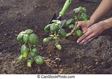 Hands of lady gardener are planting young green basil sprouts or plants in fertilized black soil. Sunlight, ground, small garden shovel. Close-up