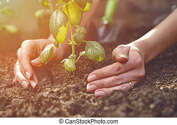 Hands of unknown lady are planting young green basil sprout or plant in fertilized ground. Sunlight, soil, small garden shovel. Close-up