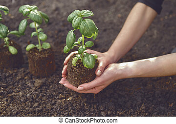 Hands of unrecognizable girl are holding green basil sprout or plant in soil. Ready for planting. Organic eco seedling. Sunlight, ground. Close-up