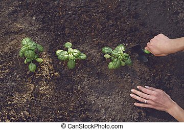Hands of unrecognizable woman agronomist are digging by small garden shovel, planting green basil sprouts or plants in fertilized ground. Close-up