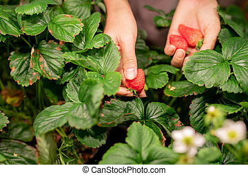 Hands of young female gardener or farmer picking red ripe strawberries