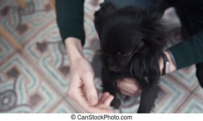 Hands of young man holding cute chihuahua puppy dog finger...