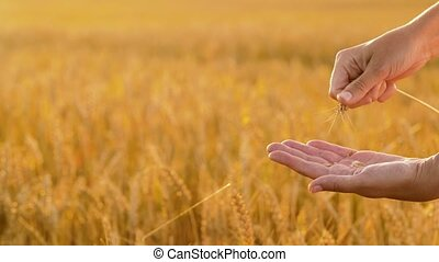 hands peeling spickelet's shell on cereal field -...