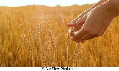 hands peeling wheat spickelets on cereal field - harvesting,...