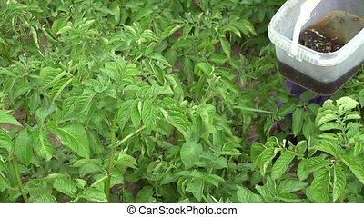 hands pick parasite larva from potatoes plants in farm. 4K -...