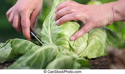 Hands picking a cabbage in vegetable garden, close up