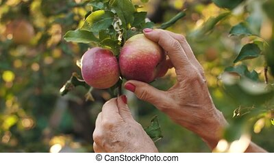 Hands picking apples